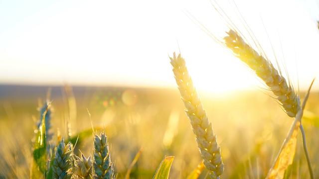 Les blés sous le soleil